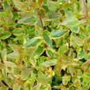 Abelia 'Sarabande', Tarka levelű tárnicslonc