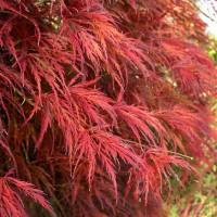 Acer palmatum 'Seiryu', Japán juhar