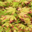 Acer palmatum 'Tsumagaki' ,Japán juhar oltványok