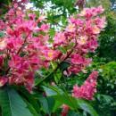 Aesculus carnea 'Delta',Rózsaszín virágú vadgesztenye