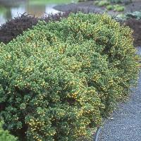 Berberis buxifolia 'Nana', Törpe puszpánglevelű borbolya