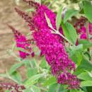 Buddleja davidii'Miss Ruby' Élénk lilás-rózsaszín virágú Illatos nyáriorgona