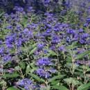 Caryopteris clandonensis 'Heavenly Blue', Angol kékszakáll