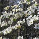 Cornus florida ,Virágos som