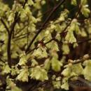 Corylopsys pauciflora, Díszmogyoró