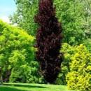 Fagus sylvatica 'Dawyck Purple', Oszlopos vérbükk