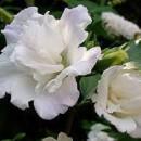 Hibiscus syriacus 'Admiral Dewey', Mályvacserje telt fehér virágú