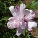Hibiscus syriacus 'Salima' ,Mályvacserje szimpla rózsaszín, piros torokkal