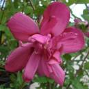 Hibiscus syriacus 'Waltraud' ,Mályvacserje telt sötétrózsaszín virágú