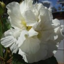 Hibiscus syriacus 'White Chiffon',Mályvacserje szimpla fehér virágú