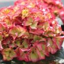 Hydrangea macrophylla 'Baroque Angel', Kerti hortenzia, Rózsaszín-Kék gömb, bordó levél