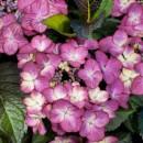Hydrangea macrophylla 'Baroque Angel Blue', Kerti hortenzia Kék gömb, bordó levél