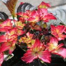 Hydrangea macrophylla 'Dark Angel',Kerti hortenzia , Piros tányér, bordó levél
