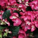 Hydrangea macrophylla 'Red Angel',Kerti hortenzia piros gömb, bordó levél