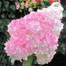 Hydrangea paniculata 'Pink Diamond' ,Bugás hortenzia