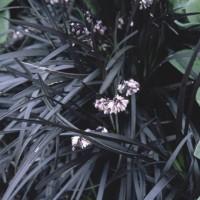 Ophiopogon planiscapus 'Nigrescens', Fekete kígyószakáll