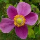 Anemone splendens, Kerti szellőrózsa