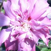 Calystegia hederacea 'Multiplex', Rózsaszín calystegia