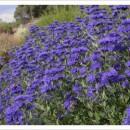 Caryopteris clandonensis 'First Choice', Angol kékszakáll