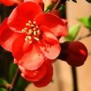 Chaenomeles 'Rubra',  Japánbirs, Élénk vörös virágú