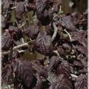 Corylus 'Red Majestic', Bordó levelű csavart mogyoró