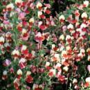 Cytisus 'Palette',Zanót piros és sárga virágú