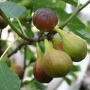 Ficus carica, Füge fajták,