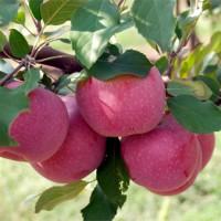 Gyümölcsfa,Alma, 'Florina'