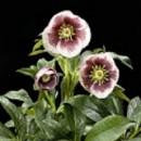 Helleborus hibrid 'SP Charlotte', Keleti hunyor, púder rózsaszín, bordó pöttyözéssel