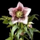Helleborus hibrid 'SP Mary Lou'®, Keleti hunyor, világos rózsaszín, matt bordó pöttyözéssel