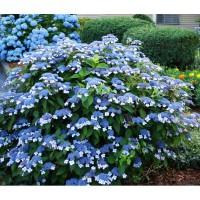 Hydrangea serrata 'Blue Bird',Hortenzia